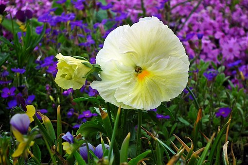 Flower, Pansy, White, Spring, Garden, The Petals