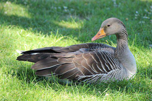 Duck, Goose, Bird, Poultry, Feather, Plumage, Bill