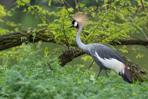 Koronnik, Gray, Crane, Bird, Nature
