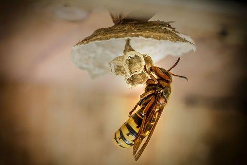 Hornets, Hornet, Hornets Queen, Hornissennest, Insect
