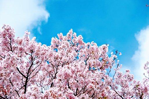 Sakura, Takato Cherry Blossoms, Japanese Cherry Blossom