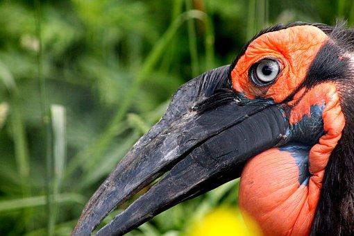 Raven, Bucorvus Leadbeateri, Kaffir Horned Raven