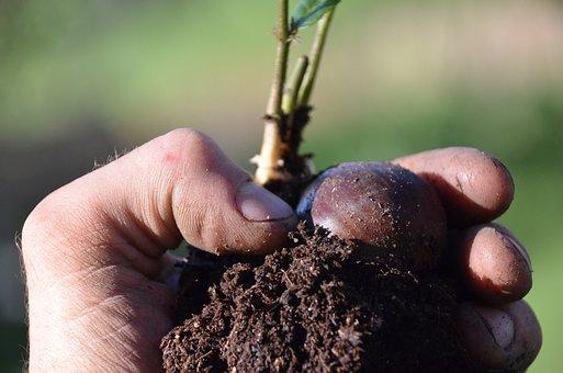 Chestnut Seedling, Luke Ruffner Robinson