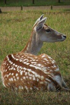 Deer, Nature, Mammal, Wildlife, Antler, Wild, Forest