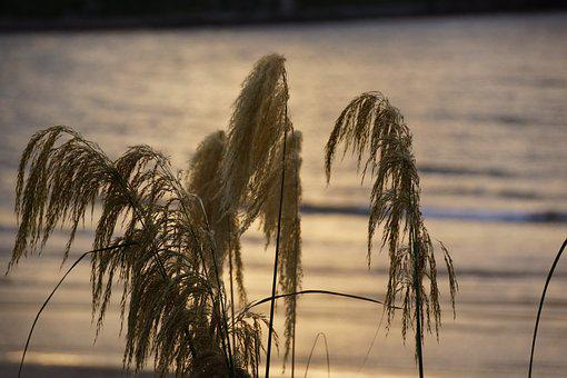 Toi Toi, Flax, Brush, Native, Fronds, Soft, Feathers