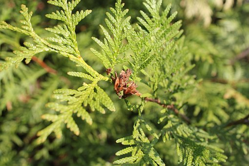 Coniferous Tree, Branch, Conifer, Tree, Needles, Nature