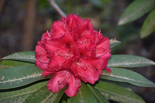 Flower, Red, Nature, Garden, Plant, Petals, Spring