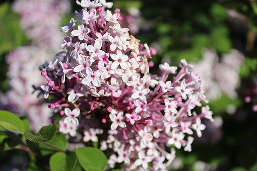 Lilac, Pink, Lilac Flower, Purple, Spring, Nature