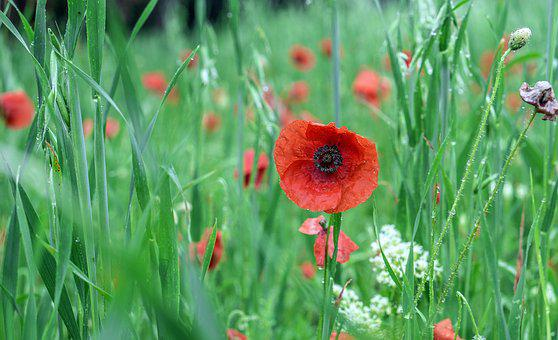 Poppies, Red, Wild Flowers, Spring, Flowers