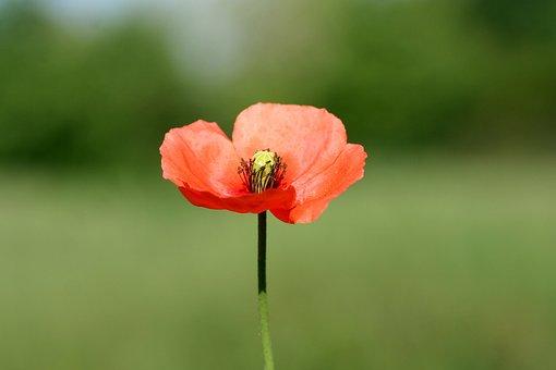 Poppy, Flower, Botany, Flora, Flowering, Fields, Spring