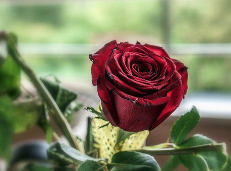 Rosa, Flower, Red Rose, Petals, Flowers, Red, Color