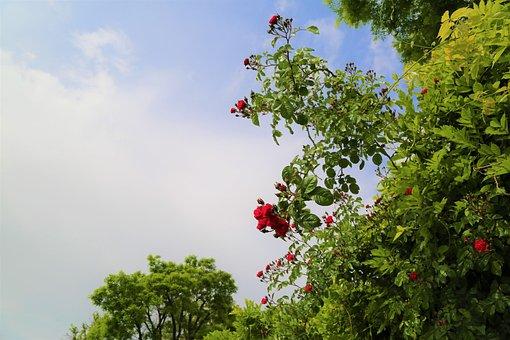Nature, Rose, Flower, Red Rose, Roses
