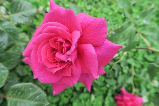 Rose, Red Rose, Flower, Nature, Garden