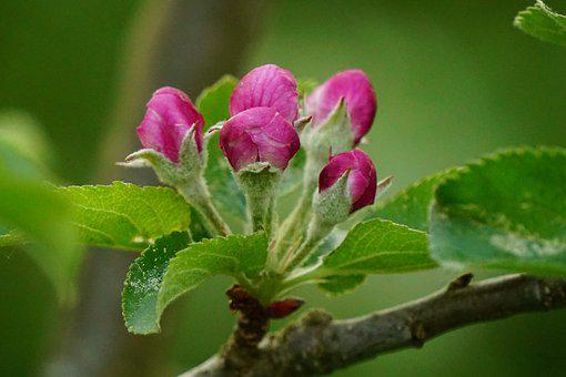 Flower Buds, Apple Tree Blossom, Spring