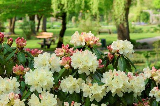 Rhododendron, Rosenbaum, Blossom, Bloom, Spring, Nature