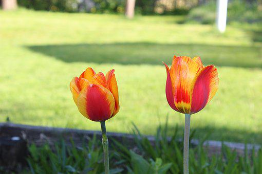 Tulips, Flowers, Natural, Yellow, Red, Sprung, Orange