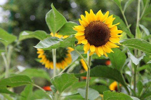 Sun Flower, Nature, Public Record, Garden