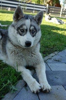 Husky, Nature, Siberian Husky, Sled Dog, Sunny
