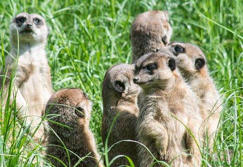 Meerkats, The Herd, Group, Rodents, Surykatka, Fauna
