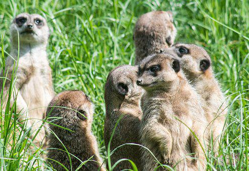 Meerkats, The Herd, Group, Rodents, Surykatka, Fauna