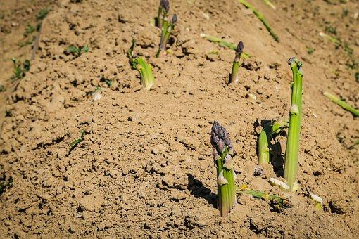 Asparagus, Vegetables, Asparagus Time, Green Asparagus