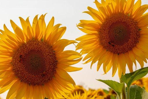 Sunflower, Sunflowers, Yellow, Bright, Vibrant, Bees