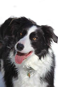 Border Collie, Dog, Winter