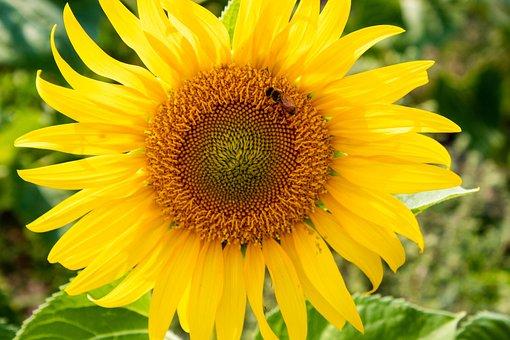 Sunflower, Bee, Yellow, Bright, Summer, Field, Flower