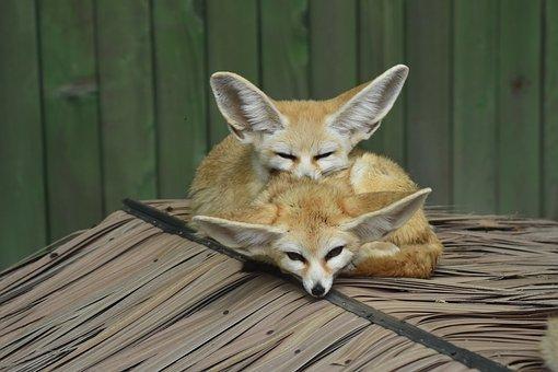 Desert Fox, Zoo, Animal, Cute