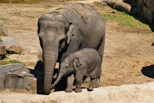 Elephant With Boy, Zoo, Baby Elephant, Planckendael