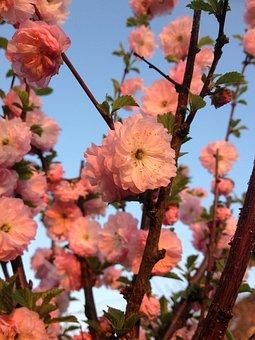 Almond Florets, Klarkien