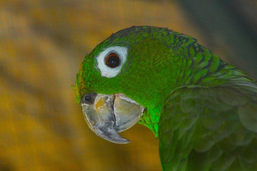 Amazon, Amazon Muller, Amazona Farinosa, Parrot