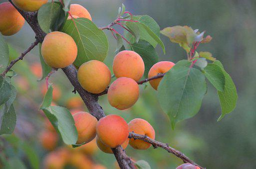 Apricot Tree, Regenerative Agriculture, Woody Perennial