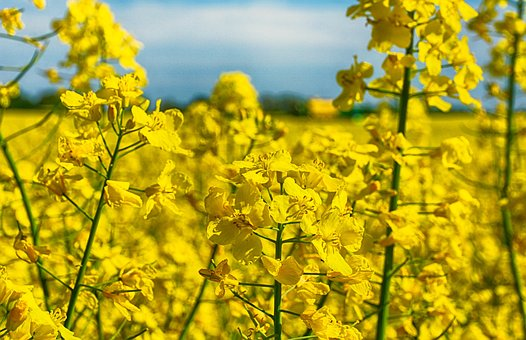 Rapeseed, Yellow, Flower, Arable Farming, Agriculture