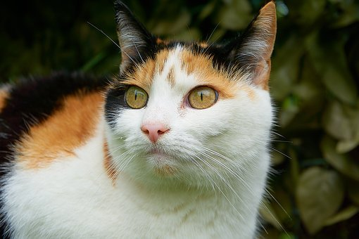 Cat, Lucky Cat, Close Up, Attention, Tricolor Cat