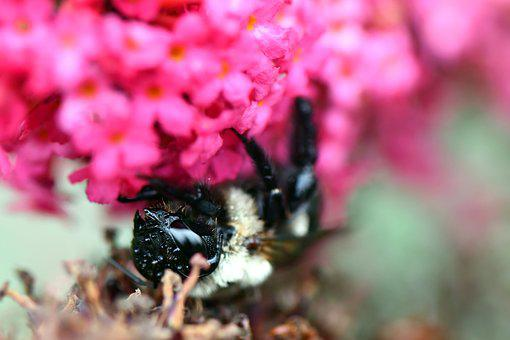 Bee, Flower, Macro, Insect, Blossom, Blooming