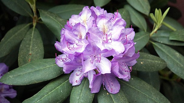 Flower, Plant, Blossom, Bloom, Rhododendron, Spring