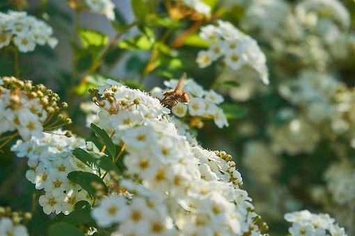 Prachtspiere, Bombyliidae, Spierstrauch, Flowers
