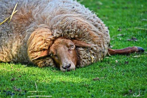 Sheep, Ewe, Animal, Mammal, Even Toed, Cloven Hoof