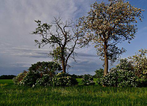 Tree, Trees, Acacia, Nature, The Sky, Country, Slovakia