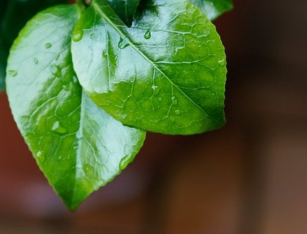 Leaves, Drop Of Water, Dew, Green, Shiny, Green Plant