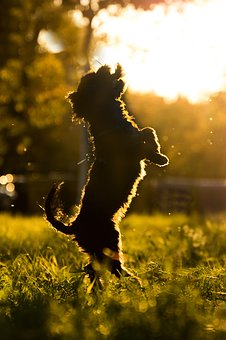 Dog, Hybrid, Evening Sun, Sun, Sunset, Play