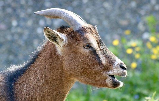 Goat, Dwarf Goat, Animal World, Zoo, Animals