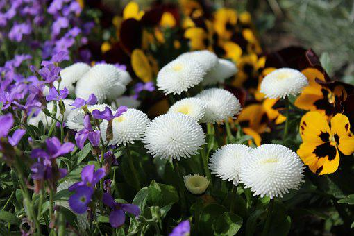 Spring Flowers, English Daisy, Pansy