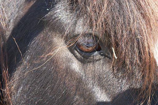 Pony, Horse, Eye, Black, Stallion, Seahorses