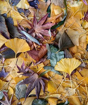 Fall Leaves, Ginkgo, Japanese Maple, Leaves