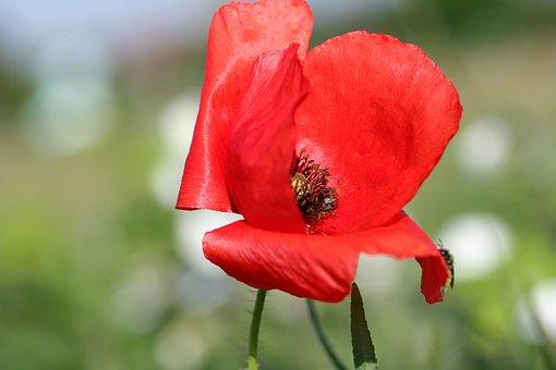 Flower, Poppy, Red, Fields, Field, Country, Flora