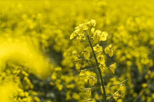 Oilseed Rape, Yellow, Nature, Field Of Rapeseeds, Field