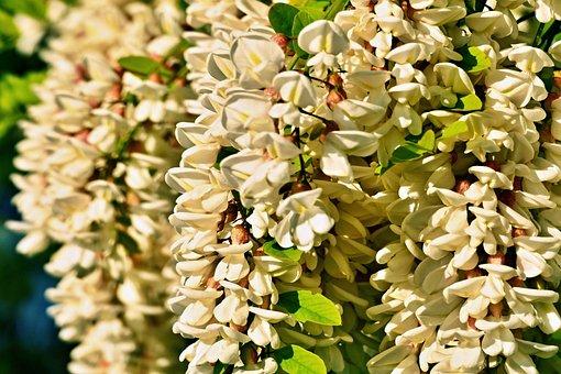 Acacia, Agátové, Flowers, A Branch, Branch