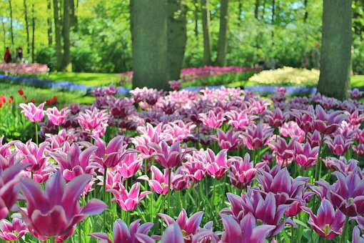 Tulips, Flowers, Public Garden, Plants, Paws, Spring